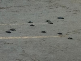 1° Desova das Tartarugas - Stella Maris